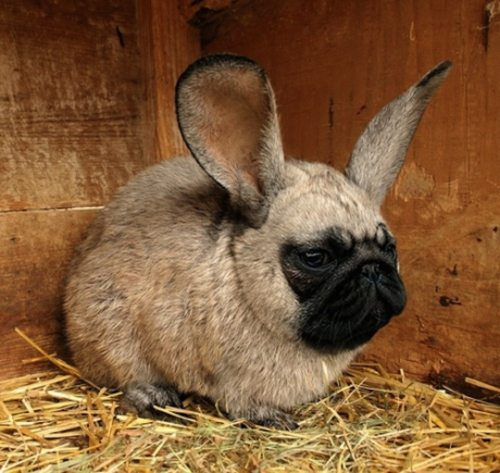 chien-lapin