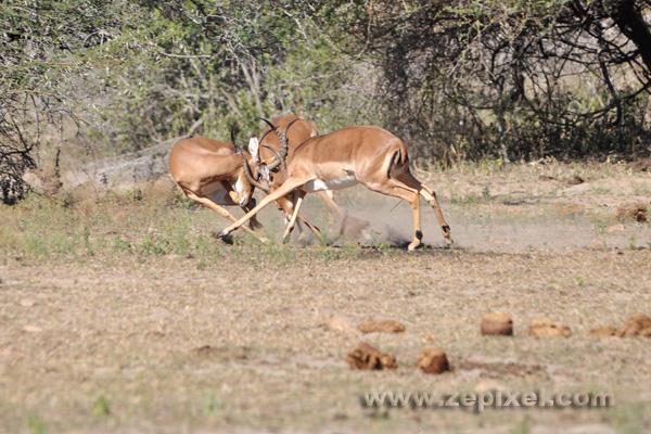 Bagarre à 3 impalas
