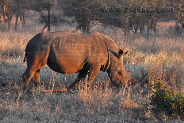 Rhinocéros dans le soleil du petit matin