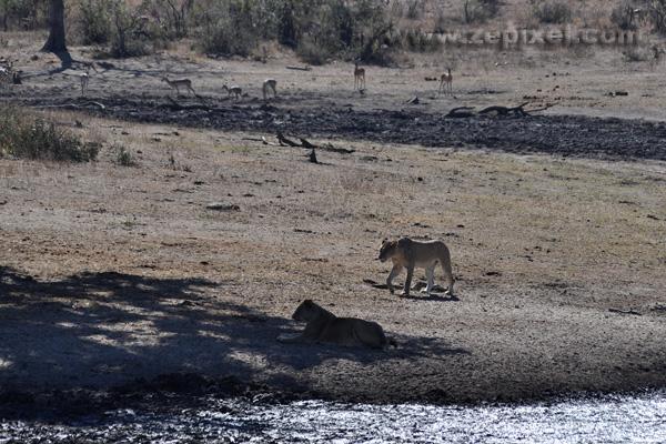 Lionnes et impalas