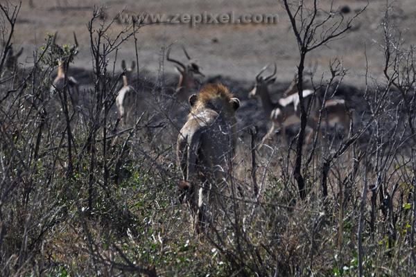 Lion et impalas