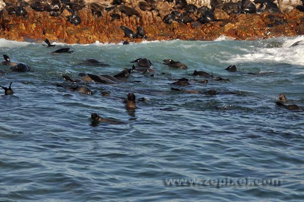 Les otaries de Dyer Island